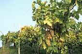 Growing Prosecco grapes
