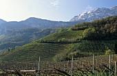 Vineyard of Tiefenbrunner Estate, Cortaccia, S. Tyrol, Italy