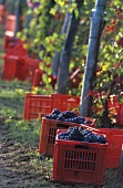 Grape picking in Renato Ratti vineyard, Piedmont, Italy