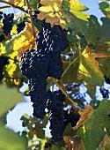 Petite Sirah, Cambria vineyards, Santa Maria Valley, Kalifornien