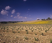 Vineyards near Valdezate,  Ribera del Duero,  Spain