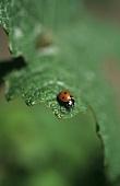 Ladybird on vine leaf,  Weinhof Herrenberg,  Schodern