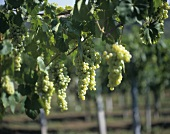 Optima grapes hanging on the vine