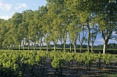 Wine-growing near Sauternes, Bordeaux, France