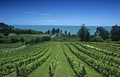 Ruby Bay Vineyard, Upper Mouteure, Nelson, New Zealand