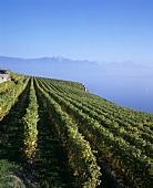 Vineyard above Lake Geneva, Switzerland