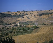 Vineyard near Ostra Vetere, Marche wine-growing region, Italy