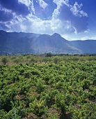 Vineyard near Alcamo, Sicily (west), Italy