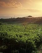 Vineyard, Montecarotto (Verdicchio dei Castelli di Jesi), Marche, Italy