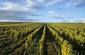 'Westhofener Morstein' single vineyard site, Westhofen, Rheinhessen