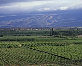 Wine-growing near Calitzdorp, Klein Karoo, S. Africa
