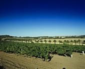 Vineyard of Seppelt Estate, Barossa Valley, S. Australia