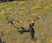 Gobelet, ancient vine training method