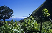 Wine-growing on the island of La Gomera, Spain