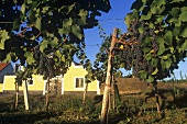 Wine-growing in Kamptal, Lower Austria