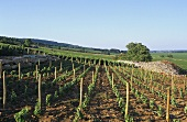 Rows of vines near Puligny-Montrachet, Burgundy, France