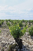 Vineyard on stony soil, Chateauneuf-du-Pape, France