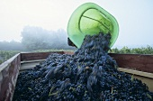 Emptying a hod of grapes, Chateau Montlau, Entre deux Mers