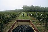 Grape-picking, Château Montlau, Entre-deux-Mers, France
