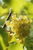 Semillon grapes, Entre-deux-Mers, France