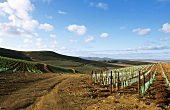 Vineyard of Capaia Estate, Philadelphia, S. Africa
