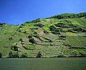 Typical vineyards in Mosel-Saar-Ruwer region, Germany