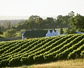 Vineyard of Landskroon Estate, Paarl, S. Africa