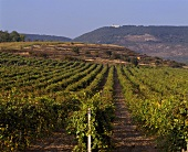 Wine-growing to the east of Novi Pazar, Bulgaria