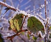 Marienkäfer auf gefrorenem Blatt, Groombridge, Kent, England
