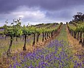 Alter Shiraz Wein, Wendouree Cellars, Clare, Südaustralien