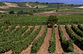 Wine-growing near Negotino, Republic of Macedonia