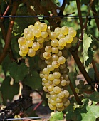 Tocai Friulano grapes, Au Bon Climat, California