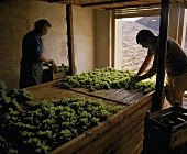 Spreading grapes out to dry on rush mats for Recioto, Pieropan