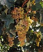 Torrontes Riojano im Weinberg der Familia Zuccardi, Maipú, Argentinien