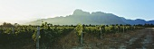 Morning in the vineyard, view of Groot Drakenstein, S. Africa