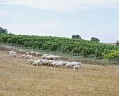 Sheep beside a vineyard, Bolgheri, Tuscany, Italy