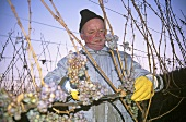 Picking grapes for ice wine, Nahe, Germany