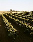 Wine-growing in Barossa Valley, S. Australia