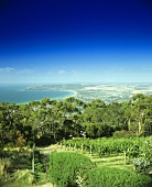 Vineyard, Mornington Peninsula, Victoria, Australia