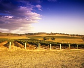 Vineyard of Montrose Estate, Upper Hunter Valley, Australia