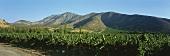 Vineyard of Santa Rita Estate, Maipo Valley, Chile