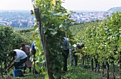 Grape-picking, Weingut Bercher-Schmidt, Oberrotweil, Germany