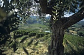 Vineyards of Rocco Pasetti estate, Collecorvino, Abruzzo, Italy