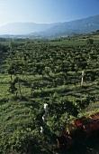 Filomusi Guelfi vineyards near Tocca da Casauria, Abruzzo, Italy