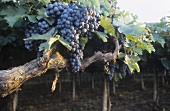 Montepulciano grapes on pergola, Abruzzo, Italy