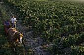 Traubenernte mit Ross und Wagen, Weinbaugebiet Cirò, Kalabrien, Italien