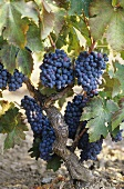 Primitivo grapes trained in albarello, Apulia, Italy