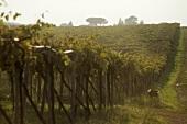 Pergola-trained vines, Colli Etruschi Viterbesi DOC, Lazio, Italy