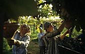 Vintage in pergola vines, Colli Etruschi Viterbesi DOC, Lazio, Italy