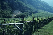 Sauvignon blanc vines, Terlan, S. Tyrol, Italy